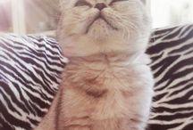 "Margaret ""Maggie"" the british cat / Britishcat catmood howtobeacat cat kitten british"