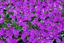 Lavender / Information on lavender