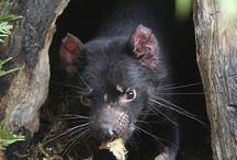 Tasmanian Animals / All animals and Birds
