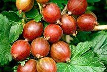 Gooseberries & Currants