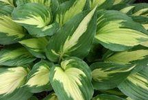 Shrub/Shade Plants / Perennials