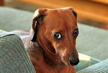 """Dachshunds ~ Weiner Dogs / Great pictures and stories about """"Weiner"""" dogs. If you would like to be invited to this board, follow the board & leave a comment on one of my pins. Please No Spam....Thank you and Happy Pinning!. / by Tom K"""