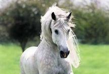 Animal - Horses