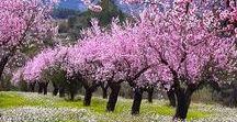 ALMENDROS EN FLOR / Durante el mes de febrero Alcalalí se cubre de rosas y blancos que convierten el paisaje en un espectáculo de belleza extraordinaria