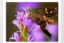 """Flashy Long-Tailed Skipper"" Product Design's by: Kim Pate / Inside this board you'll find most, if not all, of the designs I've created from my piece ""Flashy Long-Tailed Skipper"". I hope you enjoy them as much as I enjoyed creating them. Please look, repin if you want to, and-or buy what you like. Have a good one.. :) / by Kim Pate"