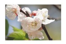 """Apricot Tree Bloom"" Product Design's by: Kim Pate / Inside this board you'll find most, if not all, of the designs I've created from my piece ""Apricot Tree Bloom"". I hope you enjoy them as much as I enjoyed creating them. Please look, repin if you want to, and-or buy what you like. Have a good one.. :) / by Kim Pate"