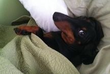 Dachshunds and other Doggies /
