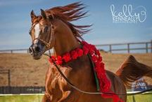 Chestnut arabians