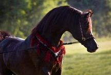 Black arabians of April Visel