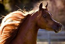 Chestnut arabians of April Visel