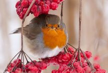 Robins and other small Birds