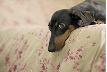 Dachshundticity / Things that capture the essense of the dachshund personality.  (Sometimes good, sometimes bad.) / by DREAM Dachshund Rescue