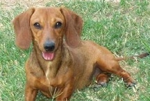 Rescues Everywhere! / They are all over the US!  That's how many dachshunds are in need -- for realz! / by DREAM Dachshund Rescue
