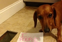 Dachshund Shaming / Because it deserves its own board, so as to not completely take over Dachshundticity. / by DREAM Dachshund Rescue