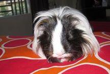My Guinea pigs- Ινδικά Χοιρίδια / My sweet piggies,home etc www.giannapiggies.blogspot.gr