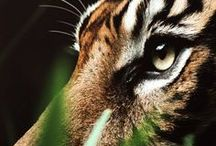 L'oeil du tigre (The eye of tiger) / by Ariel Thilly