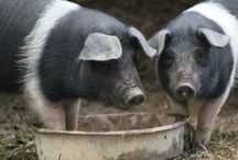 Homesteading / Gardening, raising livestock, chickens, pigs, goats, sheep, rabbits, canning, food preservation, survival skills, and more. Read my homesteading posts here: http://lovelivegrow.com/homesteading/ and follow my other boards here: https://www.pinterest.com/IssaWaters/