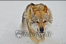Poster Animali / Stampe dell'Appennino Tosco Emiliano con i suoi animali