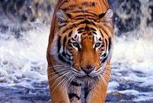 Tigers *o*