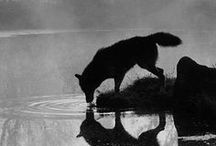 Loups et vampires