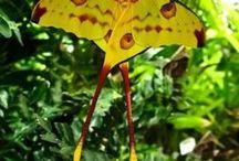 ઇઉ butterflies/moths/dragonflies