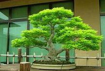 Bonzai Trees