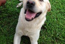 Timoteo my Labrador Retriver
