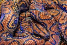 Boas / Beautiful Boas from around the world! Some on exhibit at The Serpentarium - A Living Reptile Museum