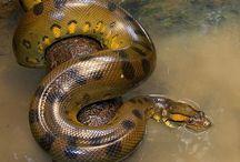 Anacondas / Beautiful Anacondas from around the world! Some on exhibit at The Serpentarium - A Living Reptile Museum