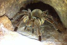 Spiders & Tarantulas / Beautiful Spiders & Tarantulas from around the world! Some on exhibit at The Serpentarium - A Living Reptile Museum!