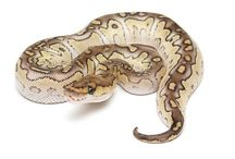 Ball Python Morphs / Beautiful Designer Ball Python Morphs! Some available at The Serpentarium - A Living Reptile Museum
