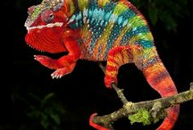 Chameleons / Beautiful Chameleons from around the world! Some on exhibit at The Serpentarium - A Living Reptile Museum