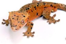 Geckos / Beautiful Geckos from around the world! Some on exhibit at The Serpentarium - A Living Reptile Museum