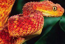 Venomous Snakes / Beautiful Venomous Snakes from around the world!