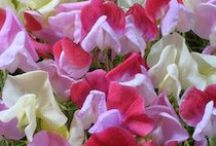 Heirloom Sweet Pea Mixes / Antique sweet peas in many different shades, digitized from slides given to us by an old sweet pea grower. / by Renee's Garden Seeds