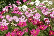 Cosmos / Beautiful and long-blooming Cosmos to brighten your garden and attract pollinators all Summer long.  / by Renee's Garden Seeds