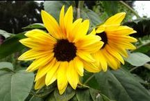 Sunflowers, so Easy from Seed! / Renee's Garden offers 14 varieties of Sunflowers (with two exciting new varieties coming in 2015!). These beauties come in all shades and sizes and are pollinator magnets!  / by Renee's Garden Seeds