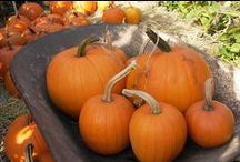 Pumpkins! / We love pumpkins! Pumpkins are easy to grow from seed and fun to grow for children of all ages. Pumpkins are versatile too and can be made into both sweet and savory dishes. We currently offer seven wonderful pumpkin varieties on our website. www.reneesgarden.com  / by Renee's Garden Seeds
