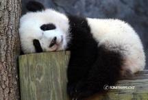 I Love Pandas / by Lisa Padgett