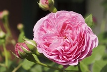 Historical Roses / by Nationalmuseet