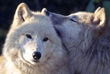Animals ~ Wolves (Mixed) / A Nice Mixture of Photography and Art / by ❤Rosemary Brown❤