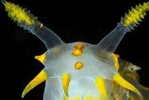 Seahorse sea slug / by Kazutaka Obika