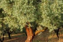 Eliris Olive Grove / Efthimiadi Estate, Greece