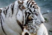 Tigers :D
