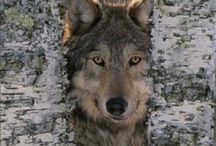 Wolves / Because there are so many wonderful, beautiful photos, drawing and products featuring wolves. / by Wild Republic