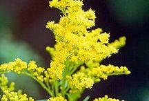 sunny garden / rośliny jednoroczne oraz byliny preferujące stanowiska słoneczne