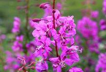 mam / annuals and perennials