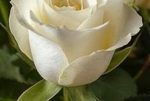 Měl jsem rád - růži bílou, nač si lhát... / ... jak jdou léta, poodkvétá, a ta léta jsou trochu znát.  Ani já neomlád, růže bílá, nač si lhát. Vzdor však brýlím láskou šílím k růžím bílým, co měl jsem rád....Milan Chladil