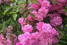 Růže růžová - pod okny mi kvete...