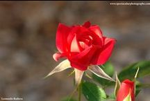 Roses / Photographies of beautiful rose buds !!
